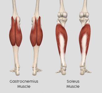 gastrocnemius-soleus-muscle